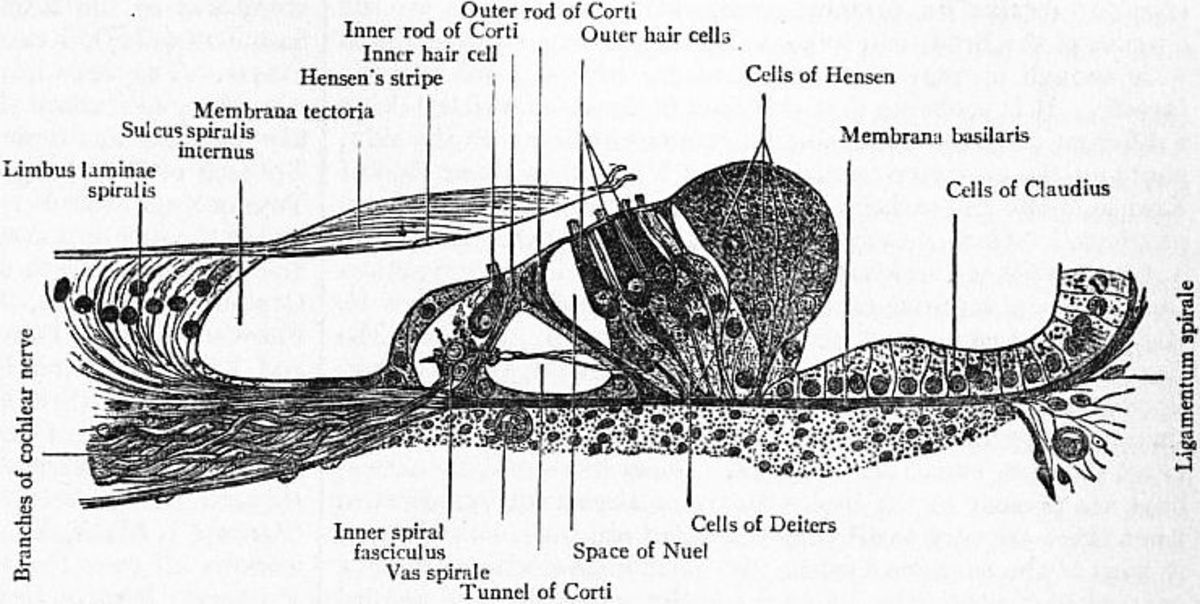 The Organ of Corti contains inner hair cells and outer hair cells.