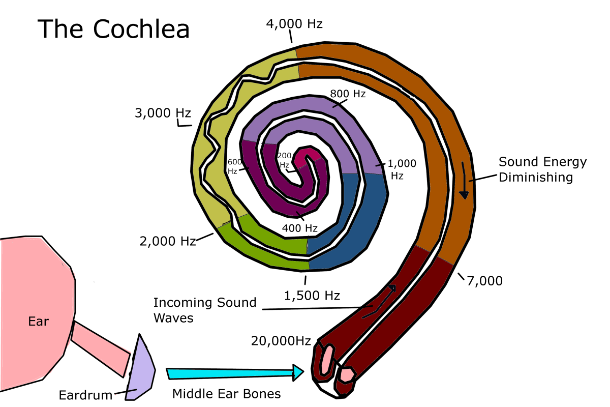 The cochlea's hair cells detect the presence of sound waves and transmit the information to the auditory nerve.