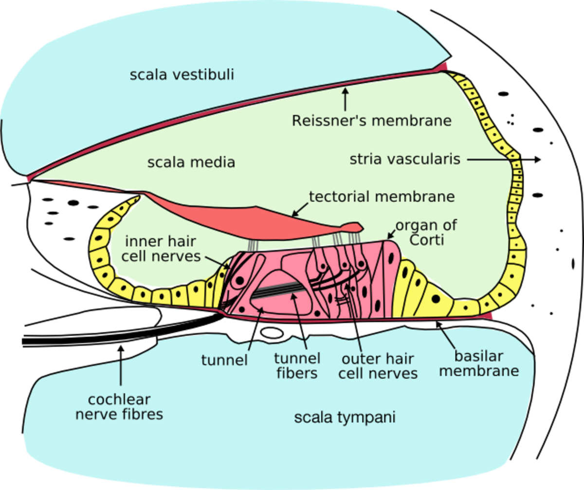 A cross section of the cochlea, showing the basic structure. The Organ of Corti, containing hair cells, is located near the scala tympani.
