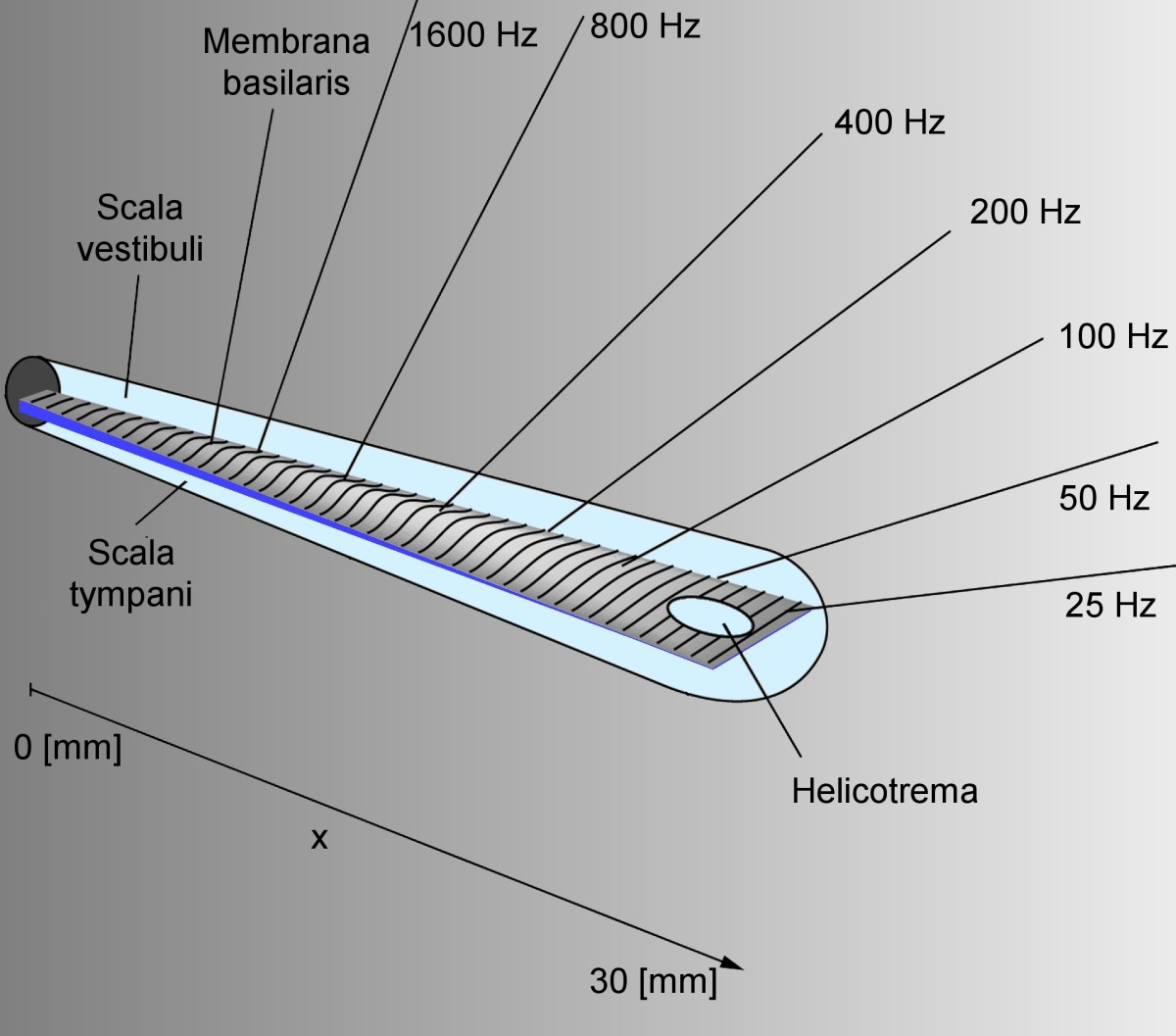 The detection location for various sound frequencies along the length of an uncoiled cochlea.
