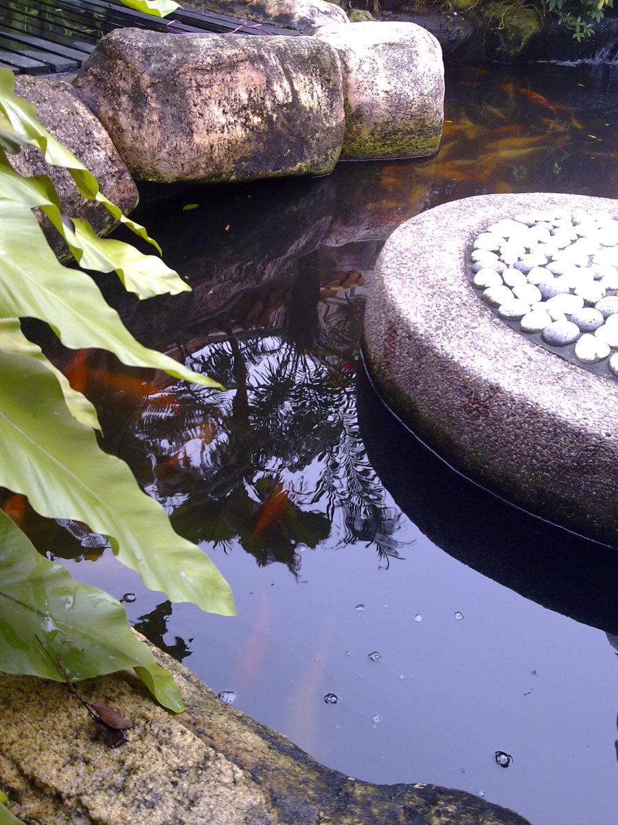 "Orange gold ""Koi"" fishes in the pond swimming freely"