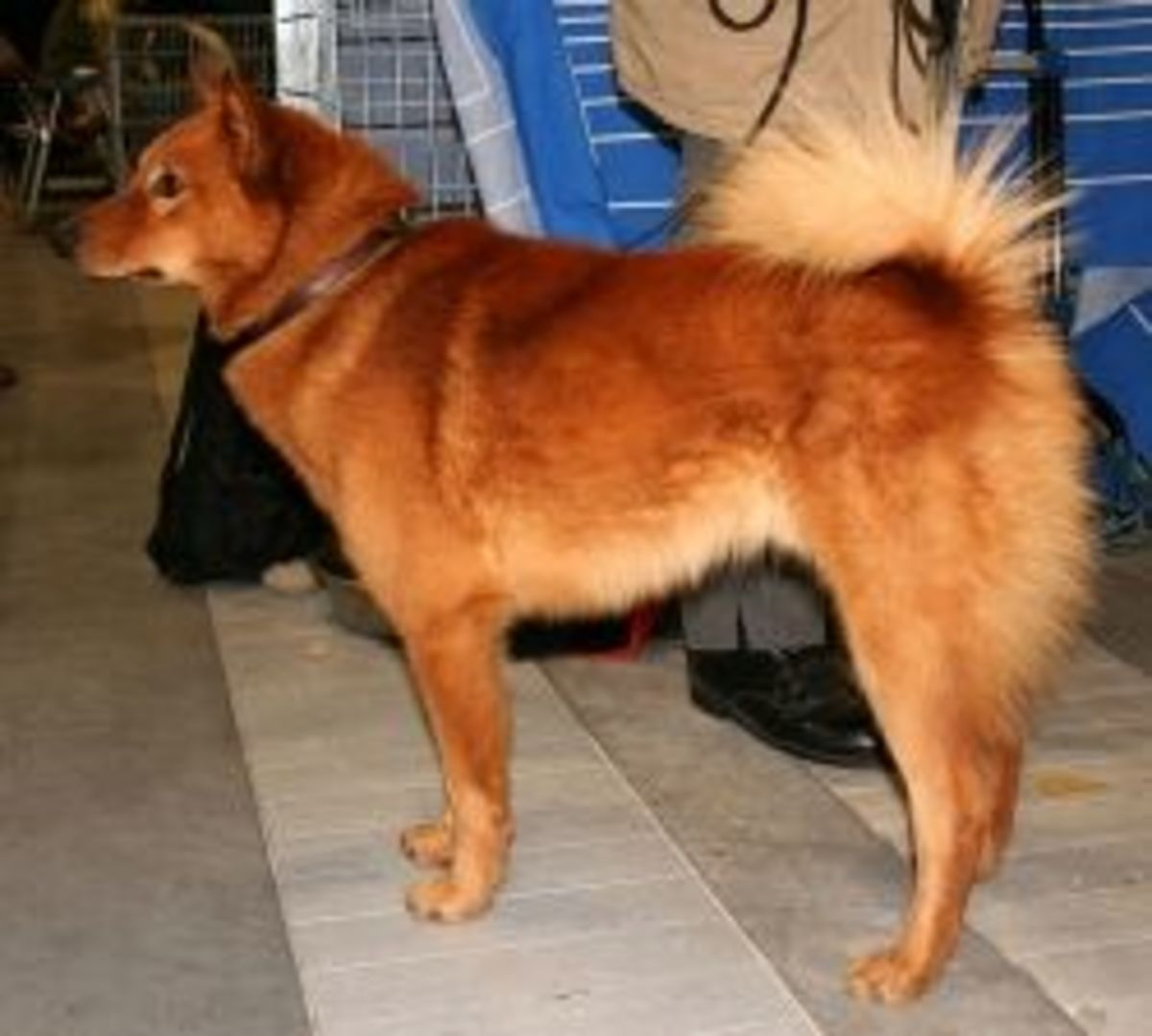 Finnish Spitz at the World Dog Show in Poznan (title translated) by Pleple2000