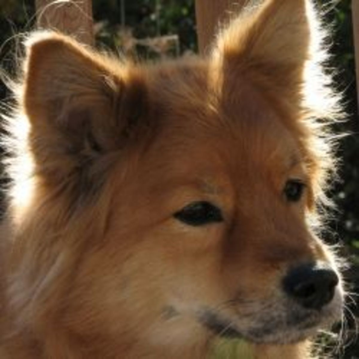 Dog Breed Spotlight: The Finnish Spitz