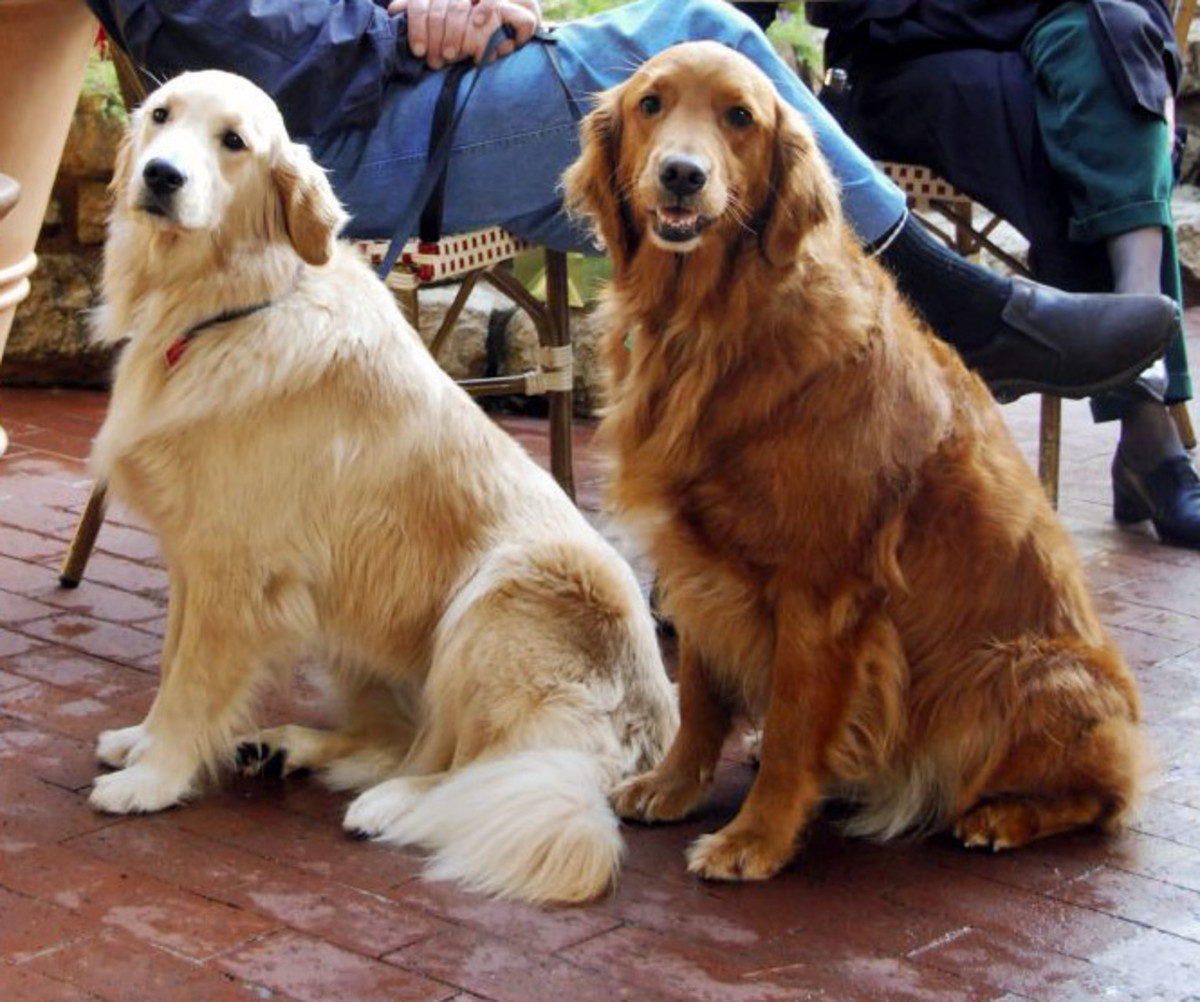 Golden retrievers vary widely in shade.