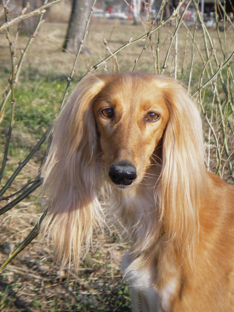 Ancient Egyptian Dog Breed: Saluki