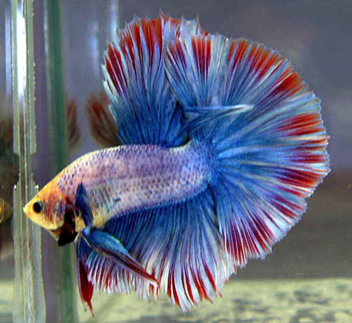 Male and female betta fish hubpages beautiful male betta fish sciox Image collections