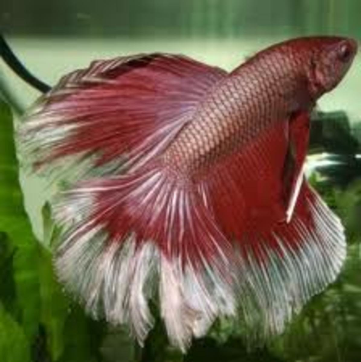 Male and Female Betta fish