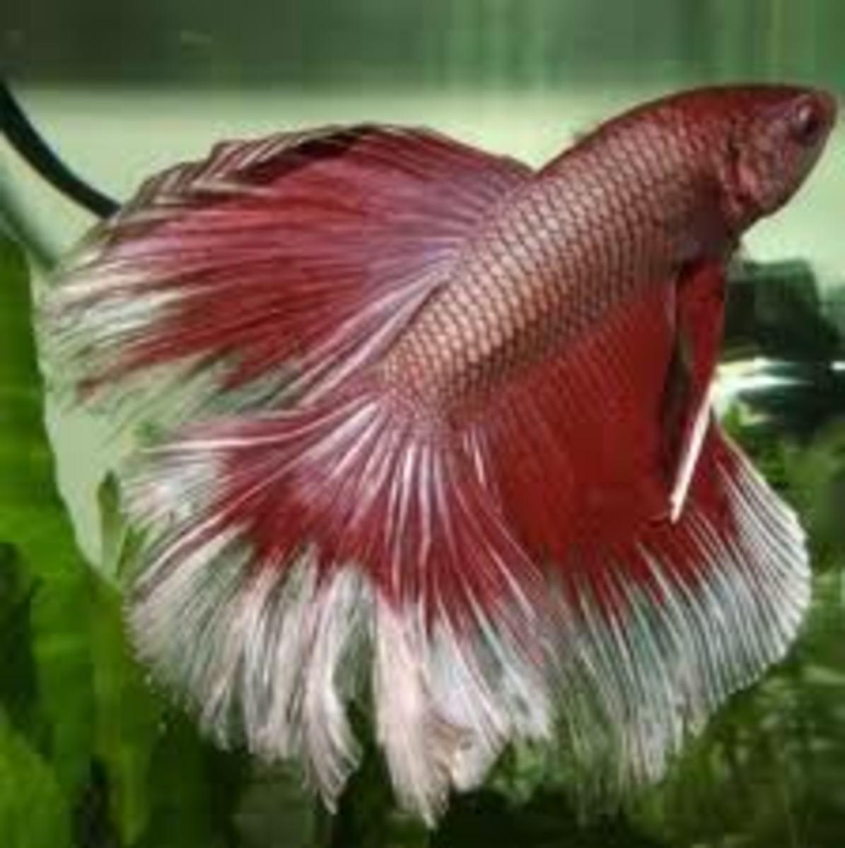 Male Betta Fish (Image)
