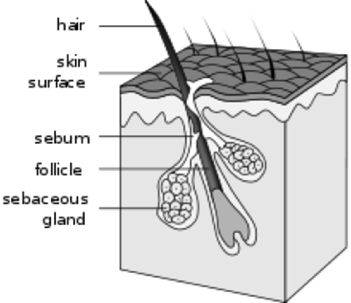 Diagram of Hair structure