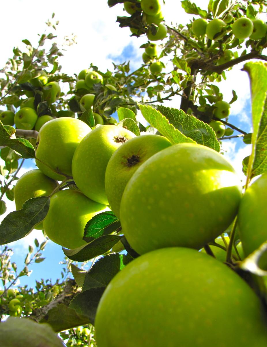 an apple a day . . .