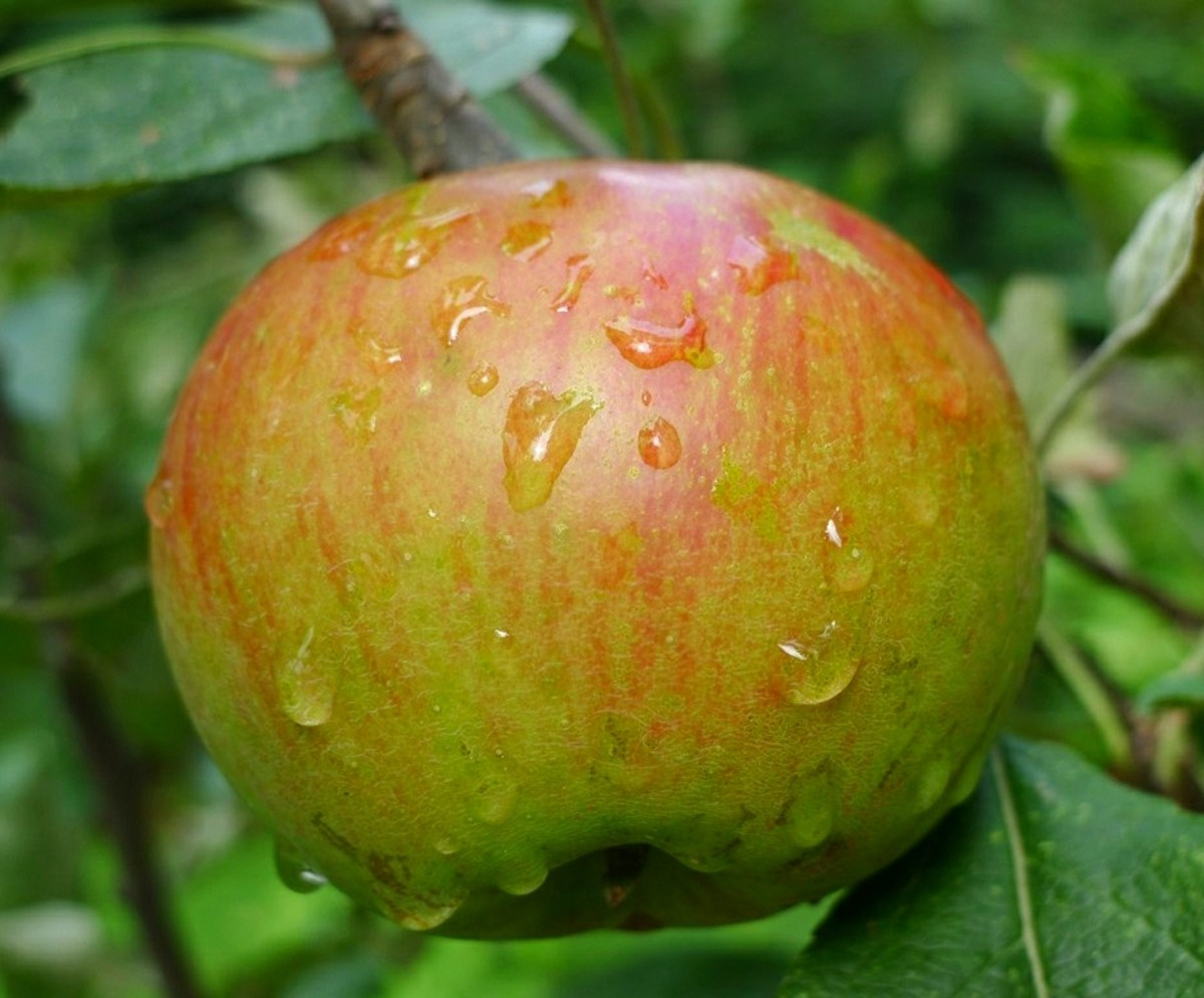 apples are a rich source of anti-oxidants and benefit the entire body.