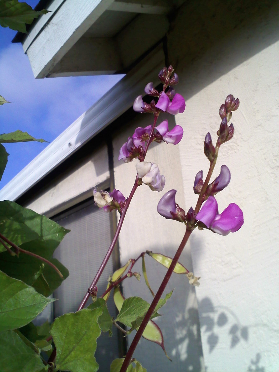 Photo of hyacinth bean flowers with young beans.
