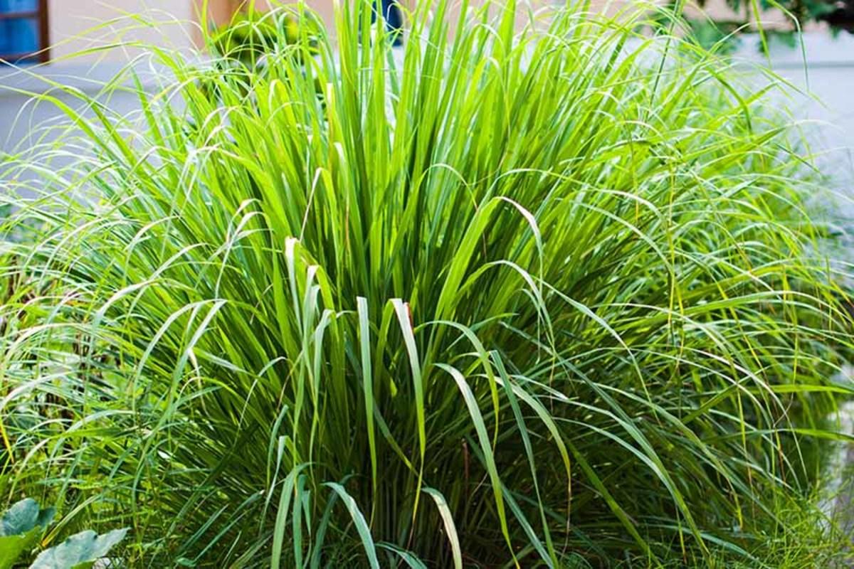 Lemongrass (tanglad)