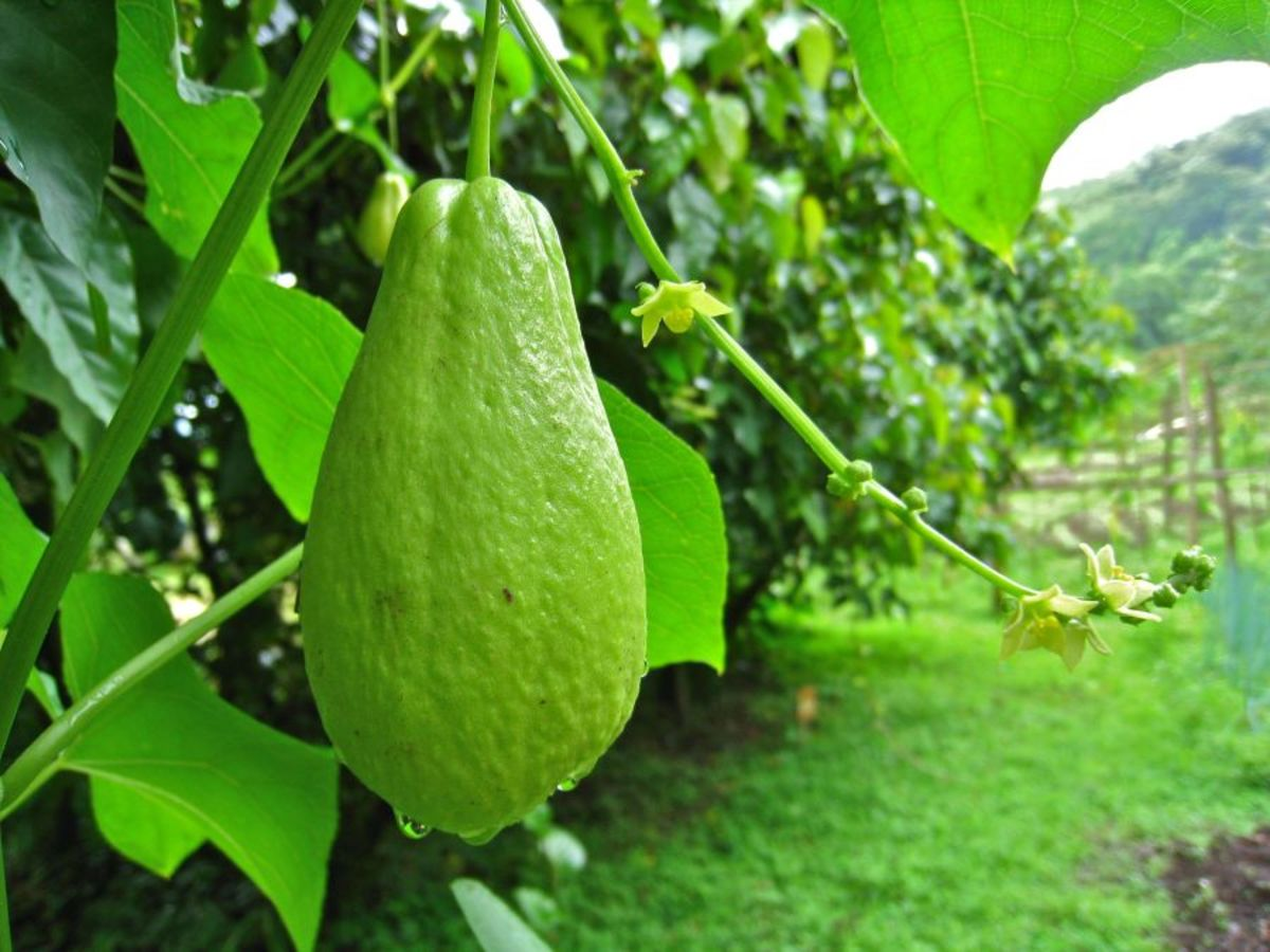Chayote fruits are light green and pear-shape.