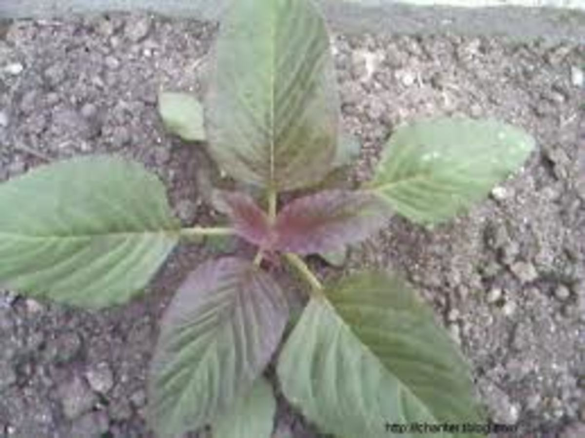Young amaranth growing. Photo taken in my uncle's yard years ago.