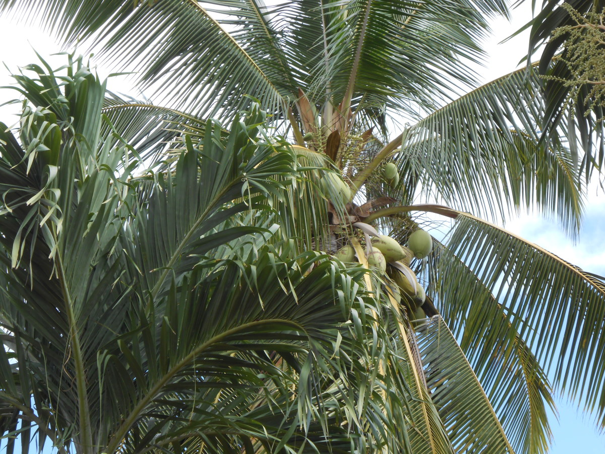 A palm tree loaded with coconuts.