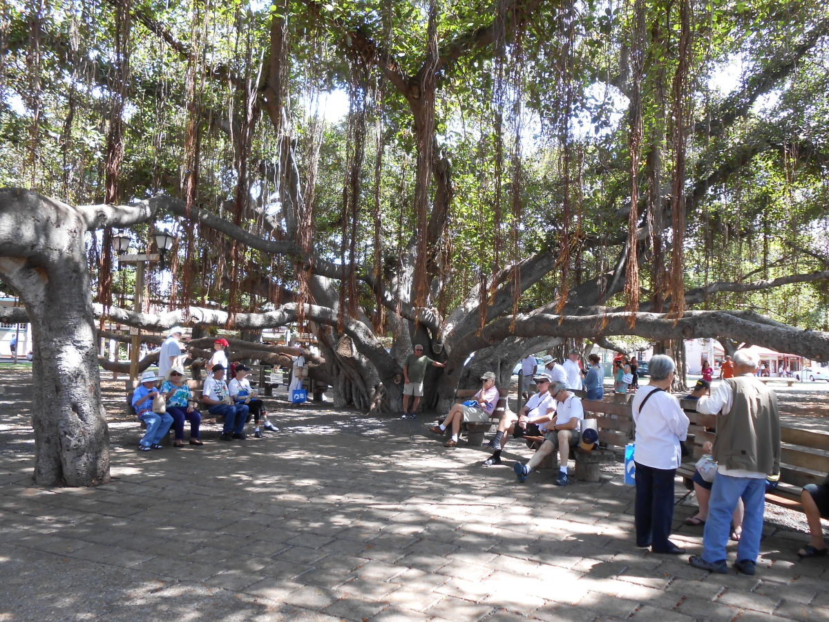 The largest banyan tree in the United States is located here on the island of Maui.
