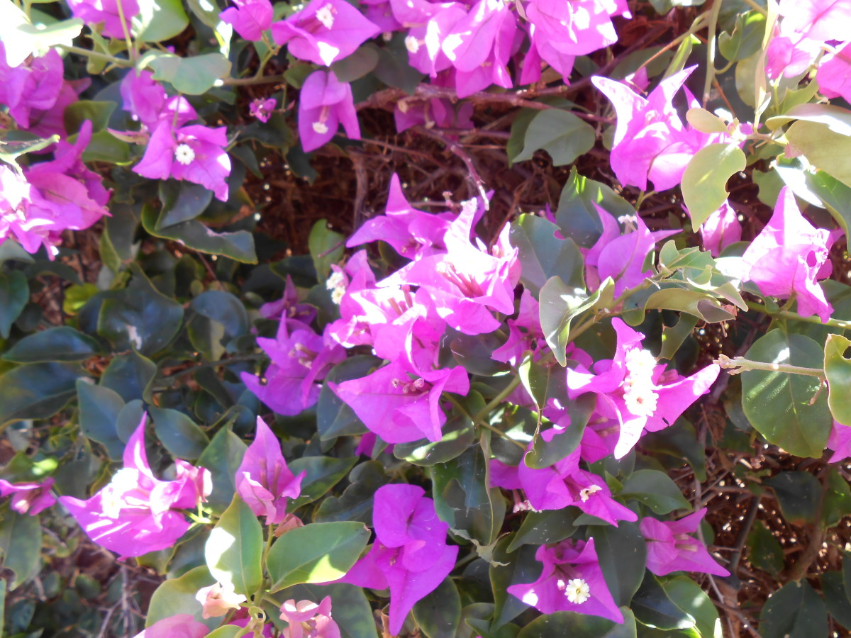 Bougainvillea on Kauai