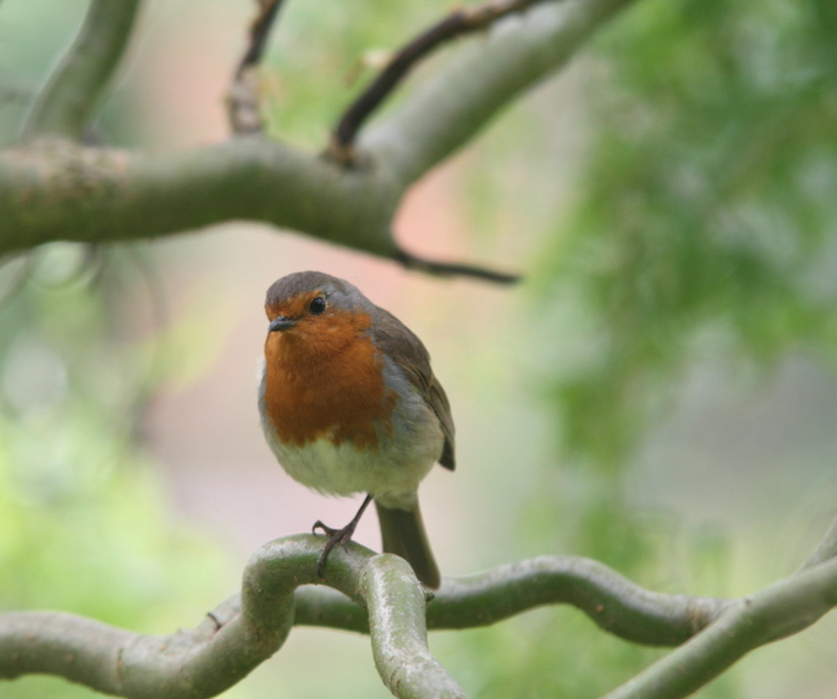 A Robin's Song
