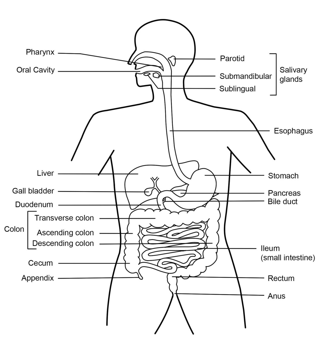 Simple human digestive system diagram - photo#1