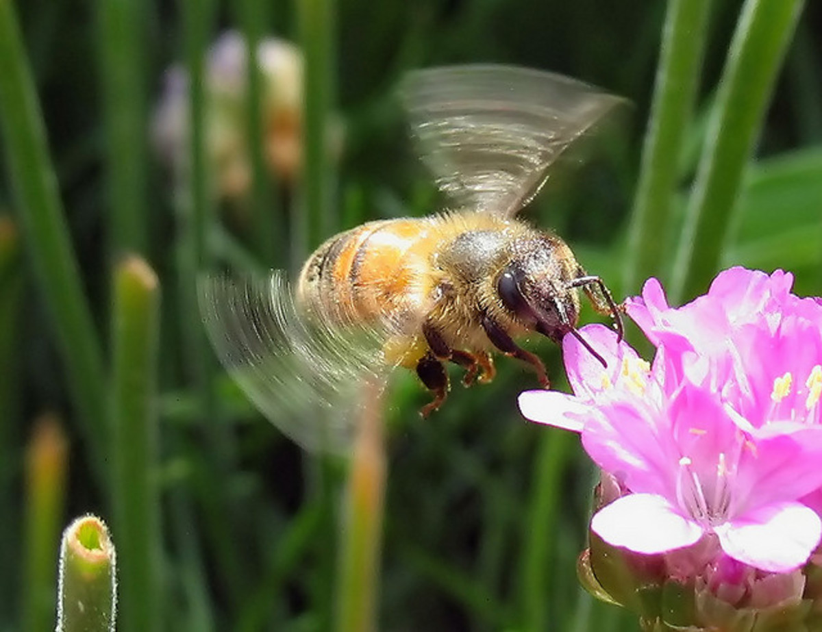 In folklore, a bee's buzz was a hymn of praise