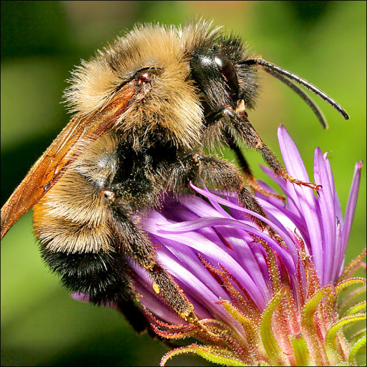 This honeybee will lay down his life for his hive's sake.