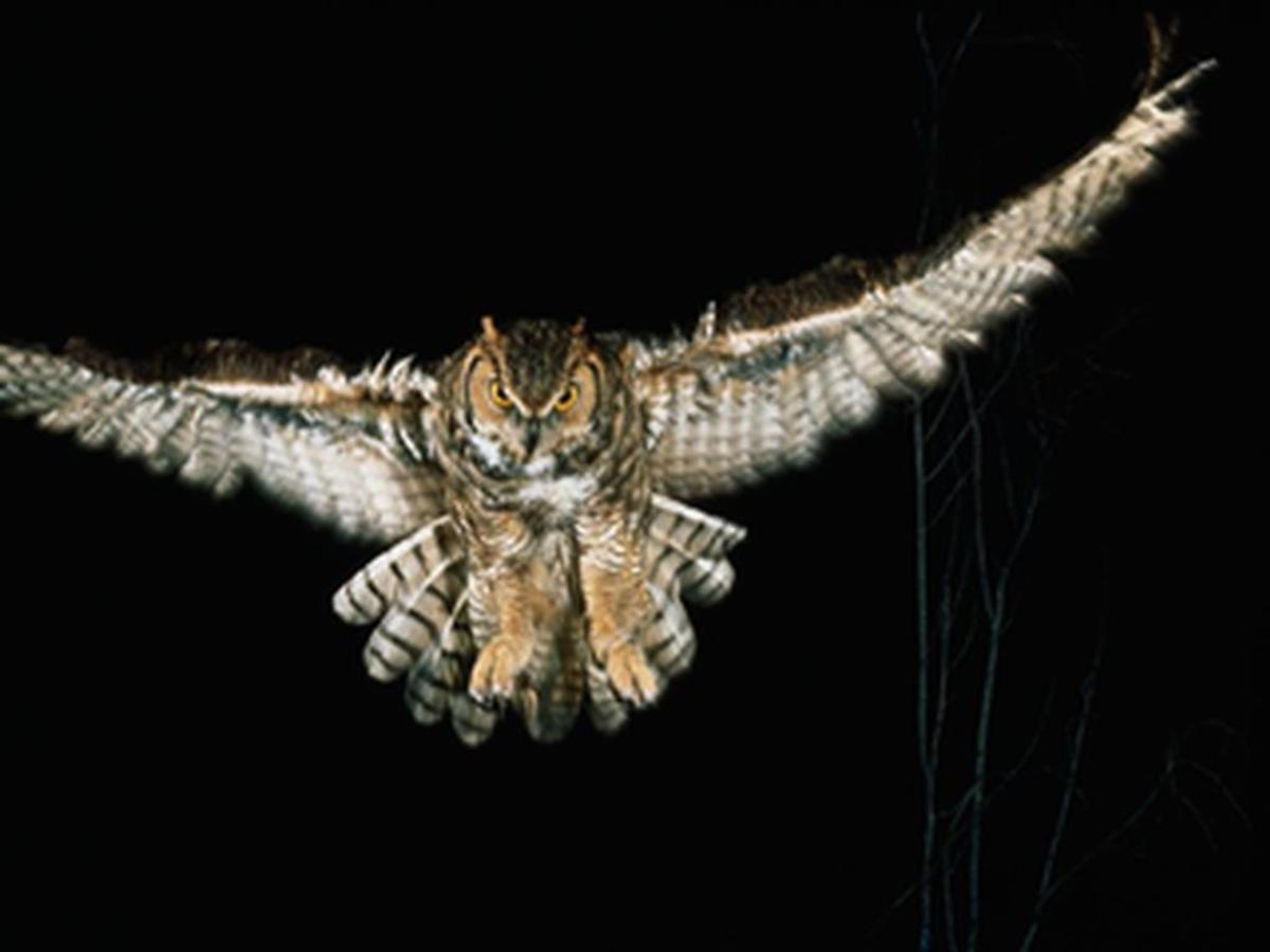Owl flying in the night