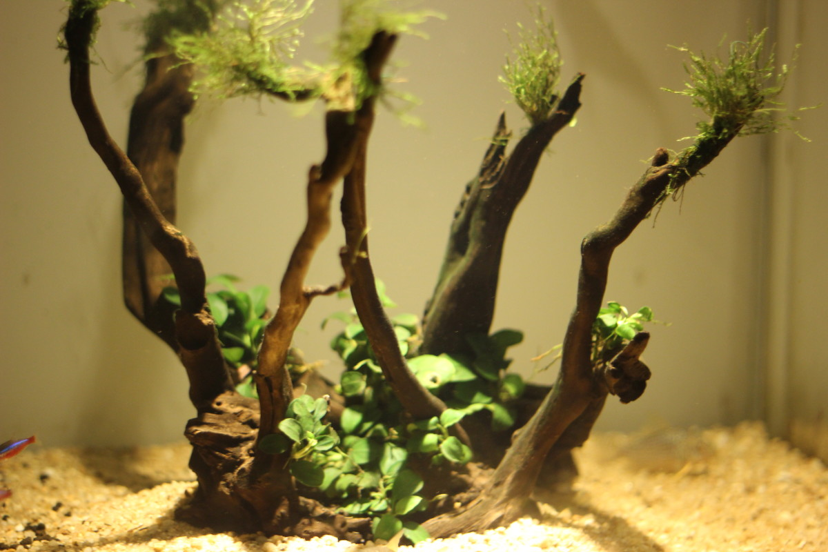 The driftwood with the Anubias petite post the planting.