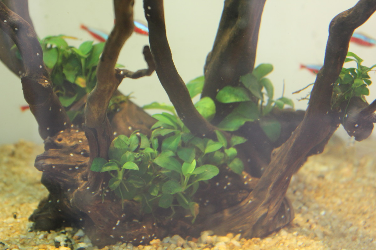 The same driftwood after a month.The foliage is denser now with new leaves.