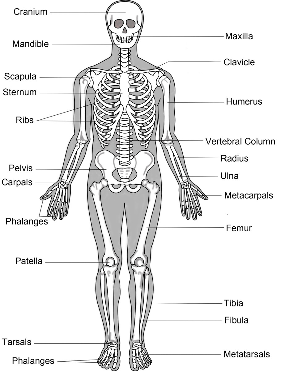 Structure of the human Skeleton | Source