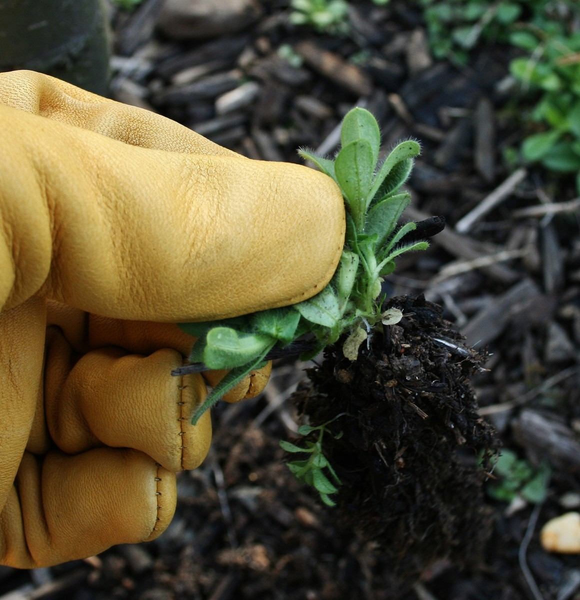 Gold Leaf gloves fit well so tasks that require fine motor skills, like weeding, are easy to perform.