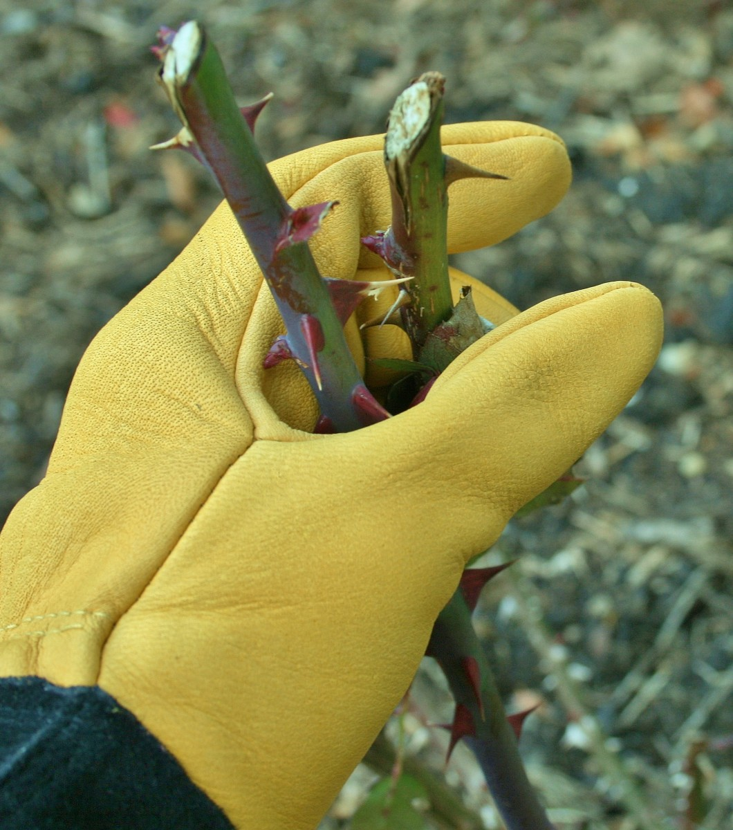 Wearing Tough Touch gloves, I don't have to worry about getting pricked by thorns on rose bush canes.