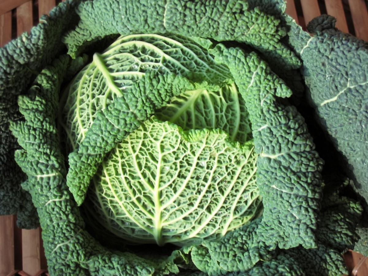 The green juice that comes from cabbage is quite peppery - not very tasty to be honest!