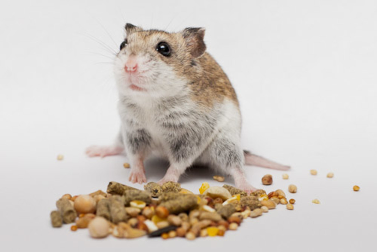 What You Feed To Your Hamster Is Very Important
