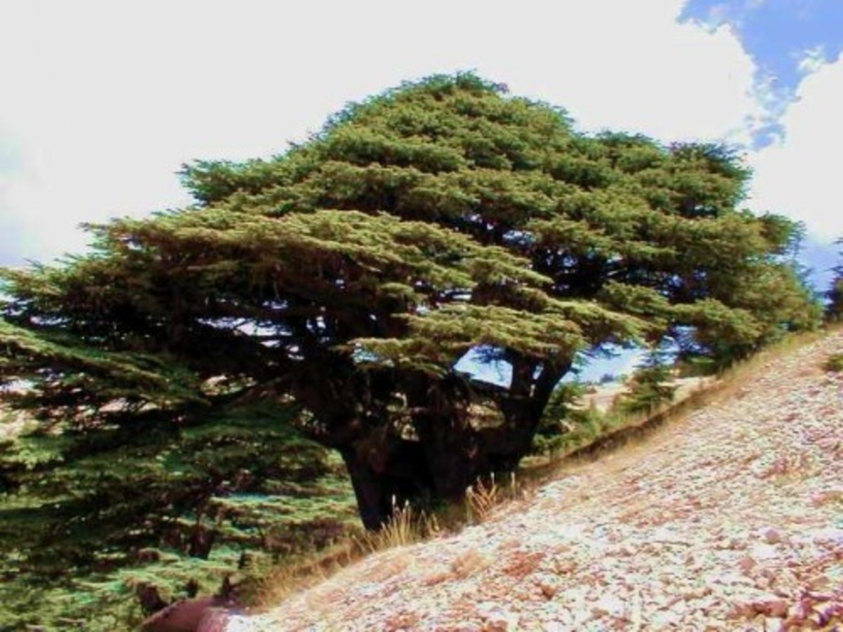Like the scented, stately cedar in the Song of Solomon (5: 14-16)