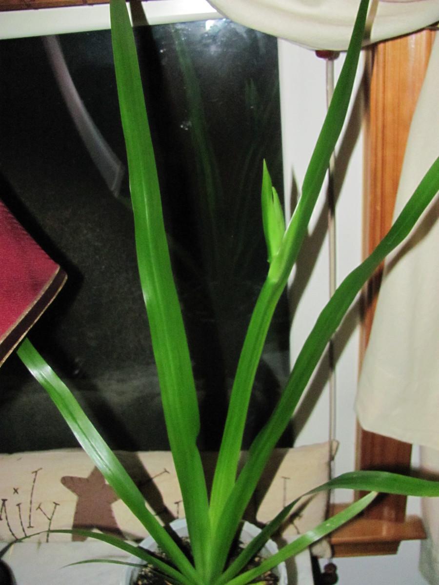 Apostle Plant