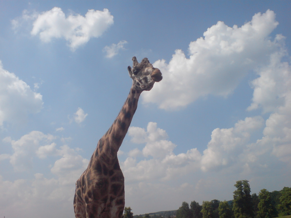 A long-necked giraffe at Safari Park and Zoo in Kidderminister, UK. (Taken on the 26/10/2010)