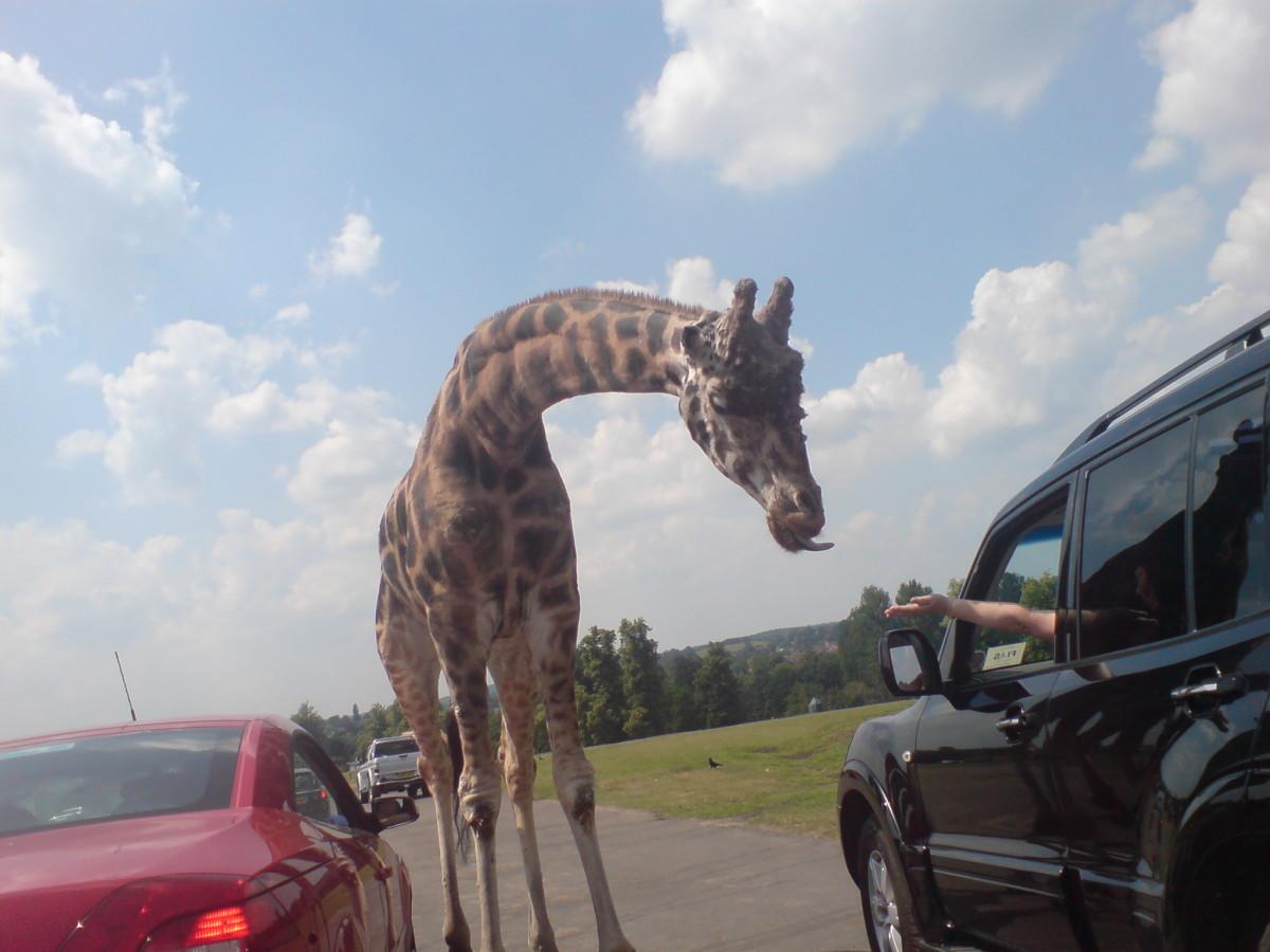 Giraffe of Safari Park (26/06/10)