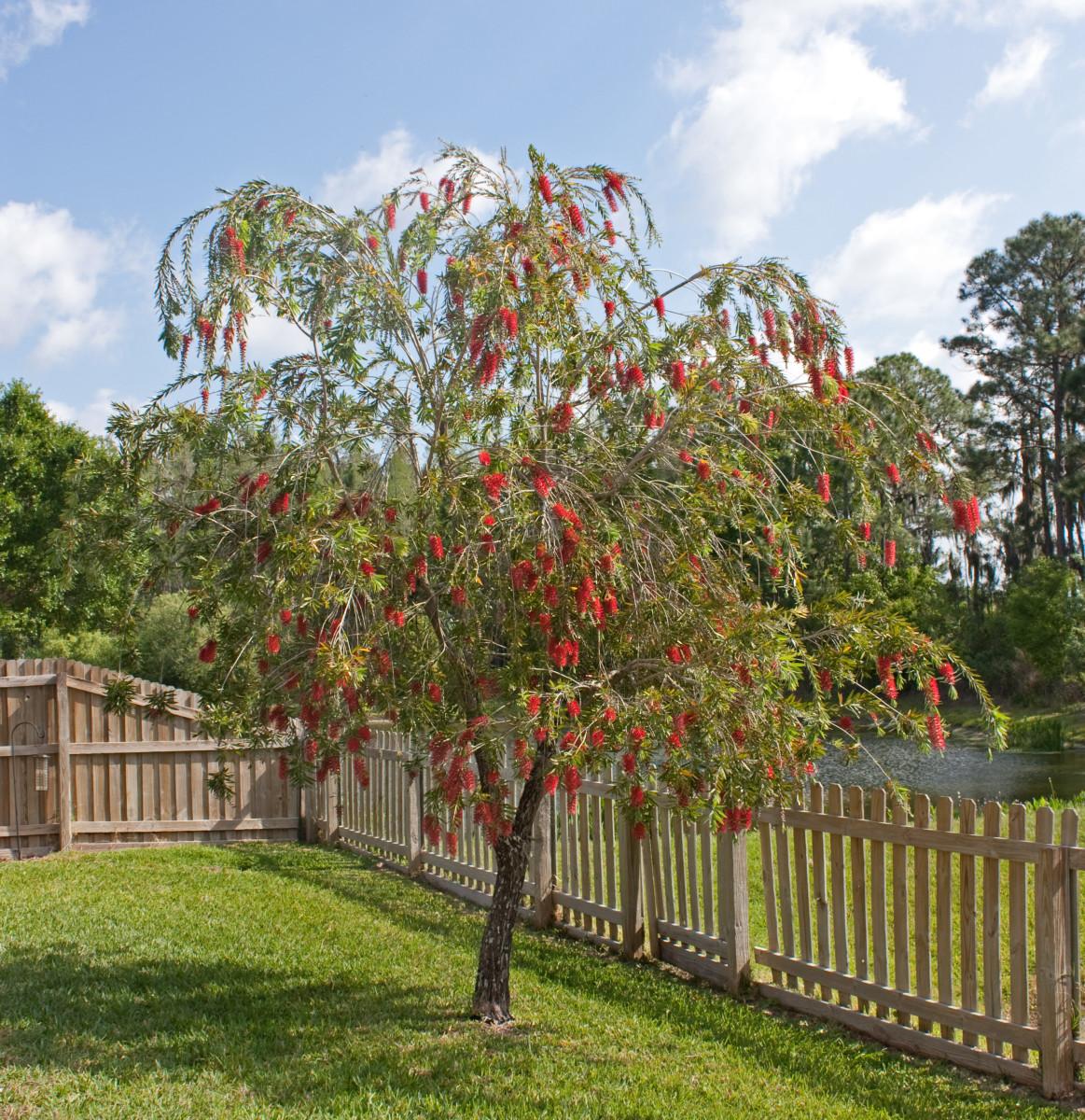 Red Bottlebrush Tree in Florida