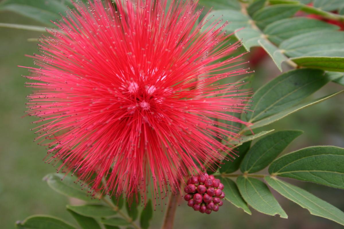 Powderpuff Tree Flower