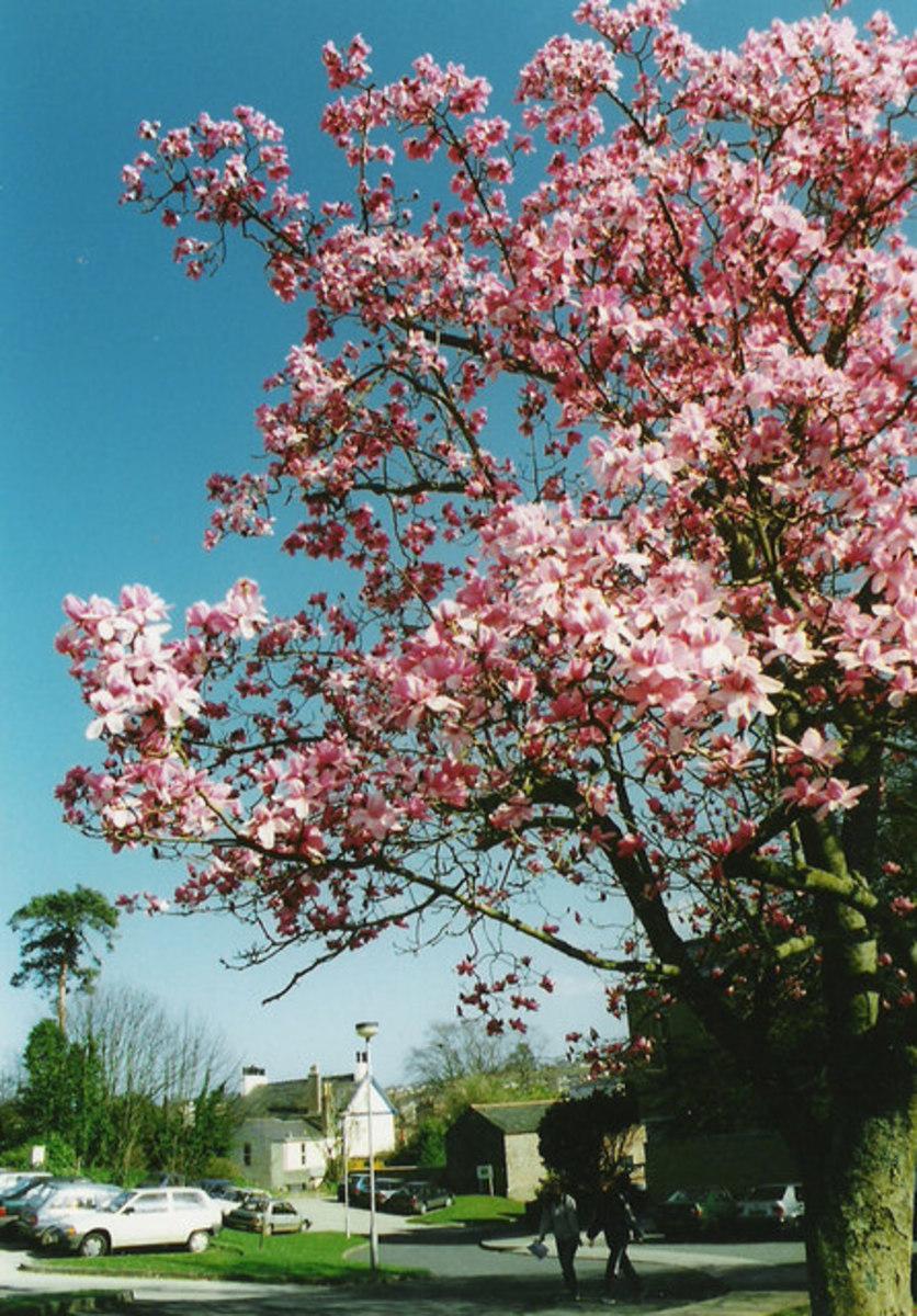 Magnolia Tree in South Devon College Grounds