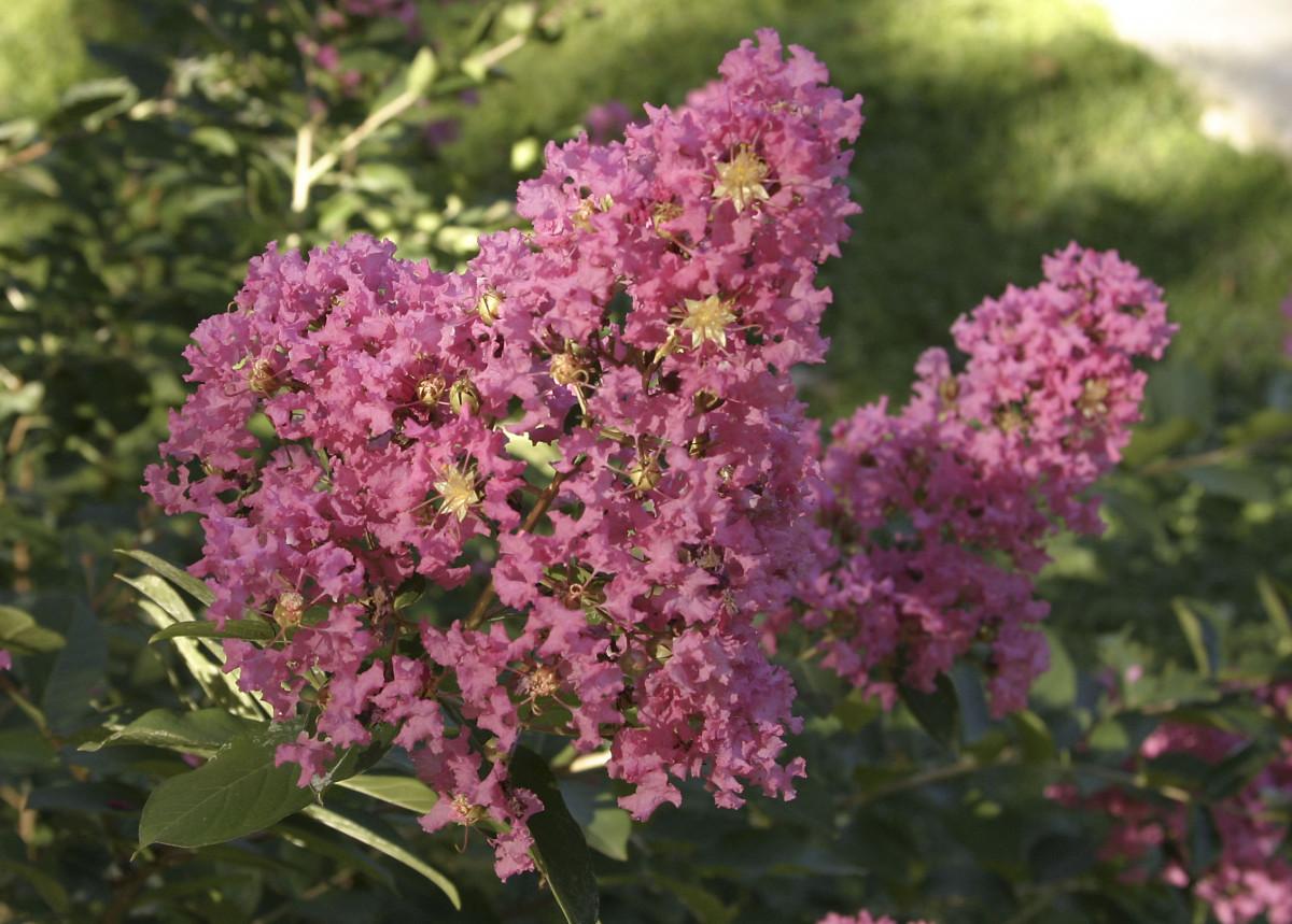 Pink Crape Myrtle Flower