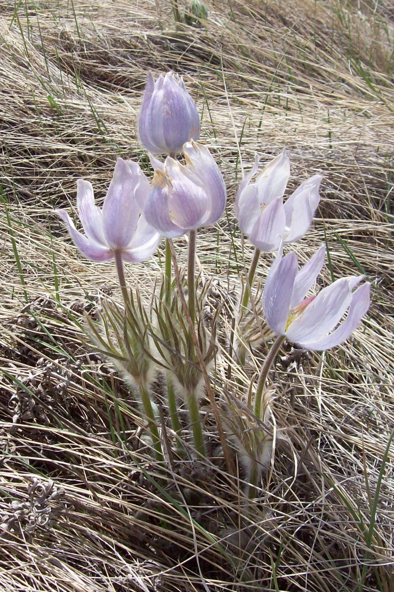 The Prairie Crocus in Full Bloom
