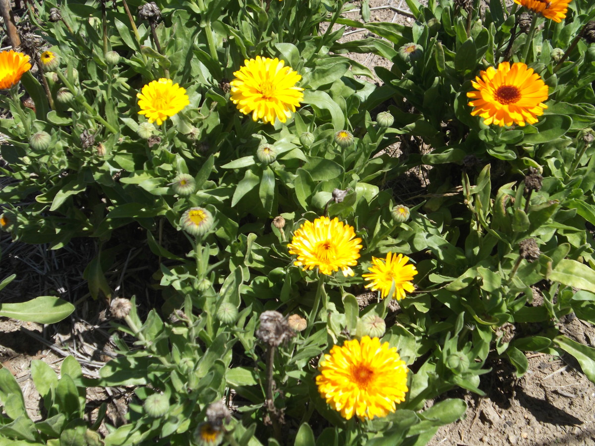 Good for your garden, traditional medicinal uses, and great for brightening up your home. Calendulas attract bees to your garden for pollinating vegetable flowers, and are good as a border to keep the grass from growing into your vegetable garden.