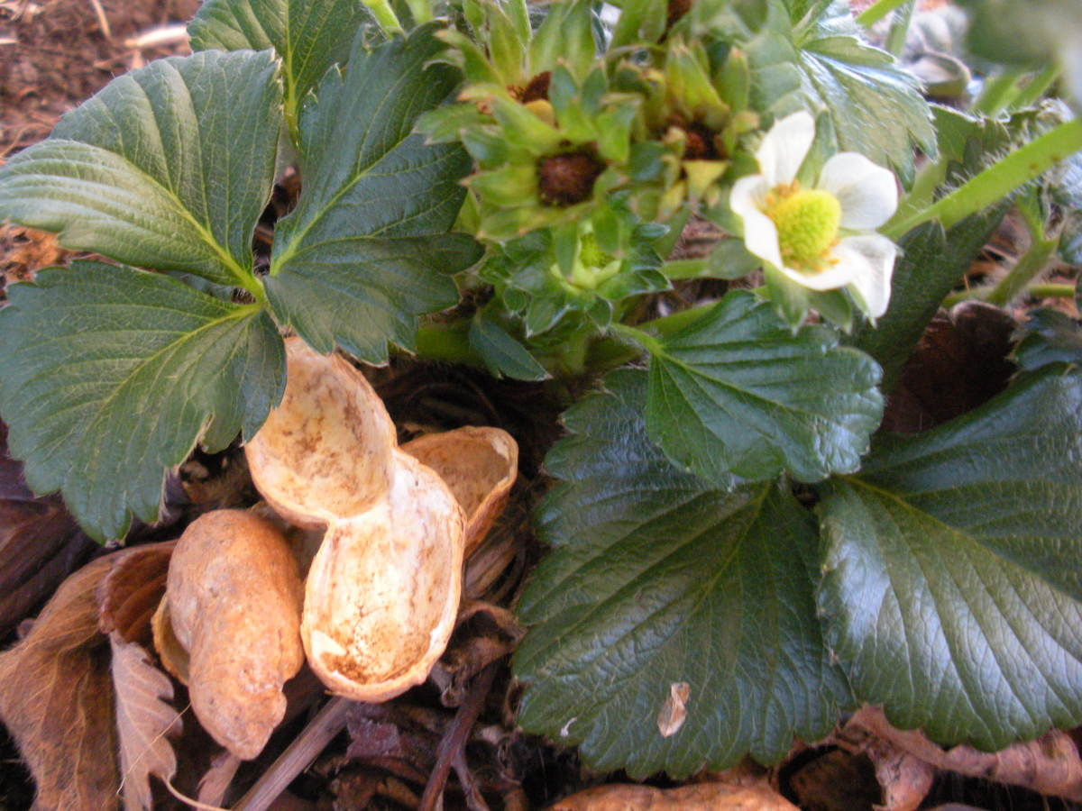 Peanut shells make a great mulch for strawberries,.