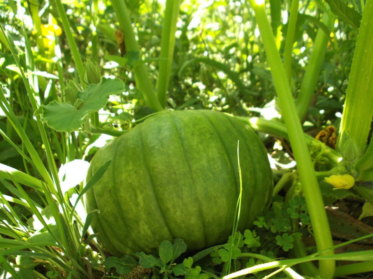Organic gardening offers a different perspective on weeds. Ask yourself how, when, and why you need to remove weeds. You'll discover the answer is not 'all the time'. Pumpkins grow larger than most weeds. This one shelters beneath its own leaves.