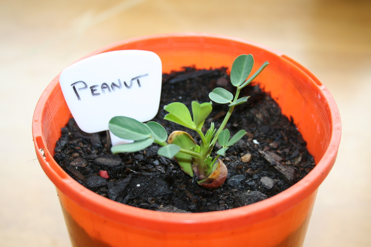 Take a fresh peanut from its shell, plant it, water it, and watch it grow.
