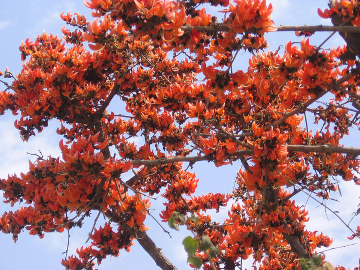 Flame of the Forest - Butea Monosperma - Palash Tree - Some Uses and Health Benefits