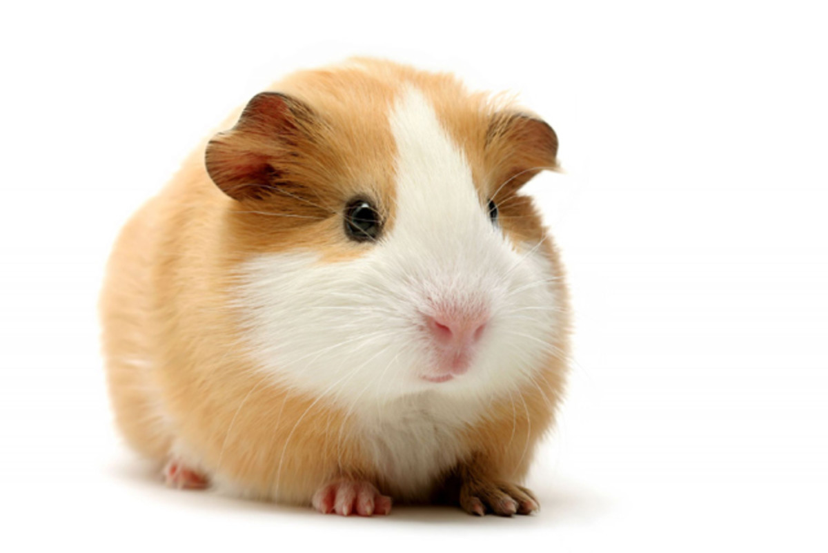 Types Of Guinea Pigs