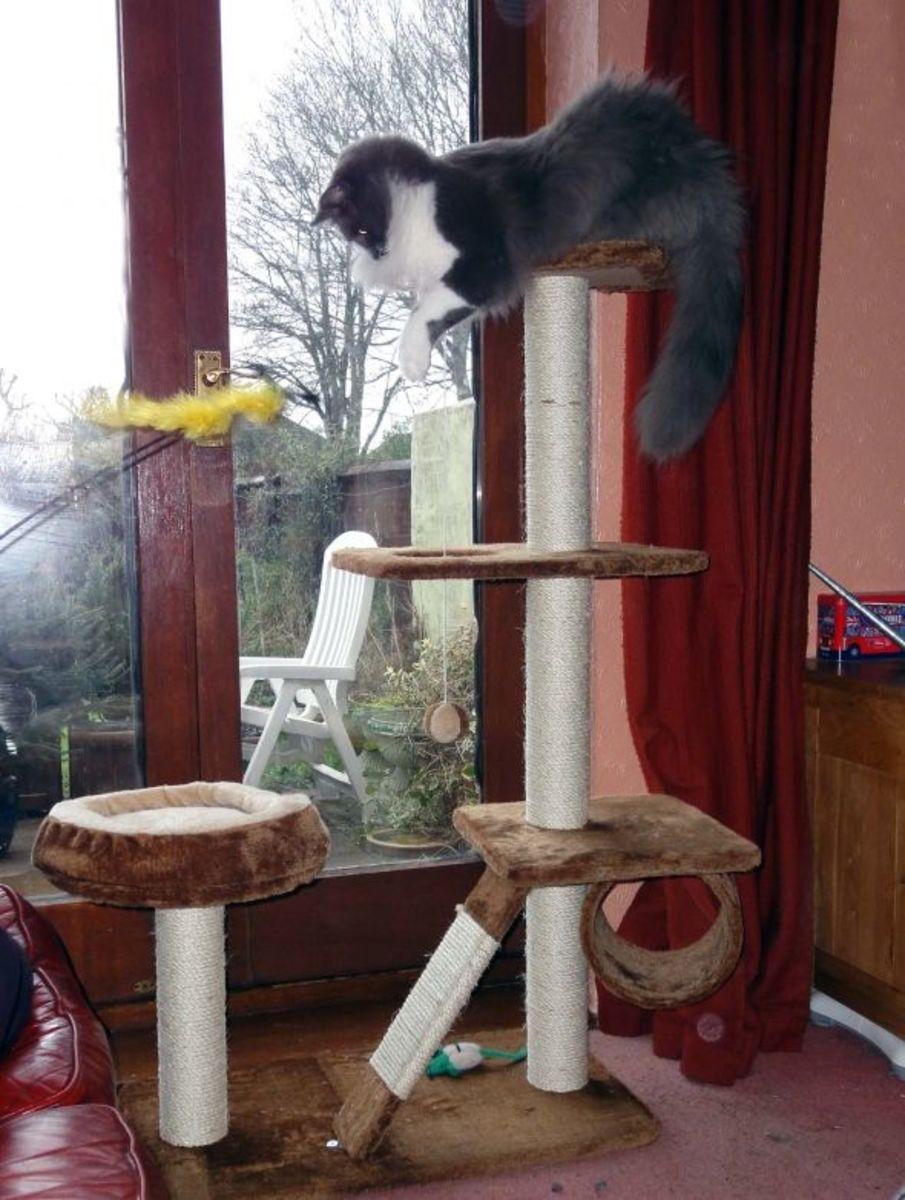 Greebo on cat tree